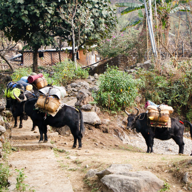 """Yaks loaded up for a treck"" stock image"