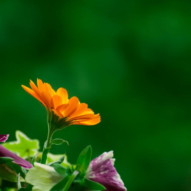 """""""One Orange Calendula Officinalis"""" stock image"""