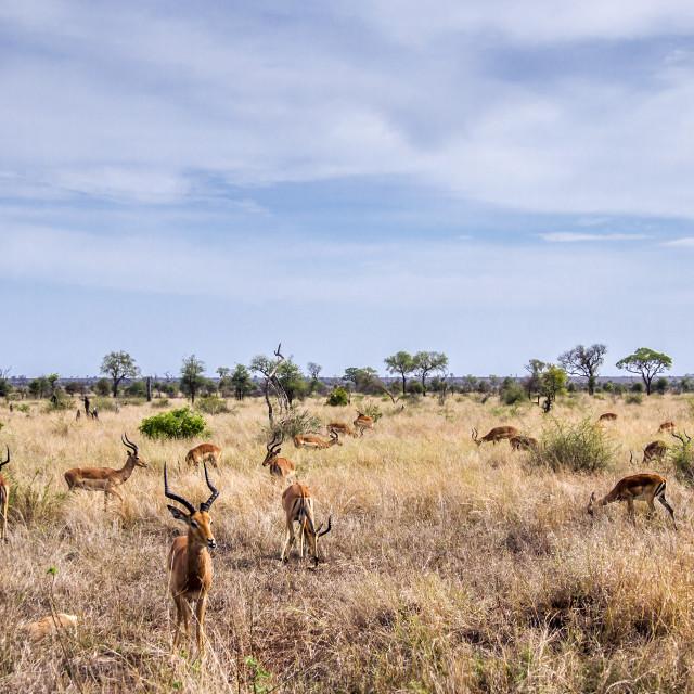 """Impala in Kruger national park, South Africa"" stock image"