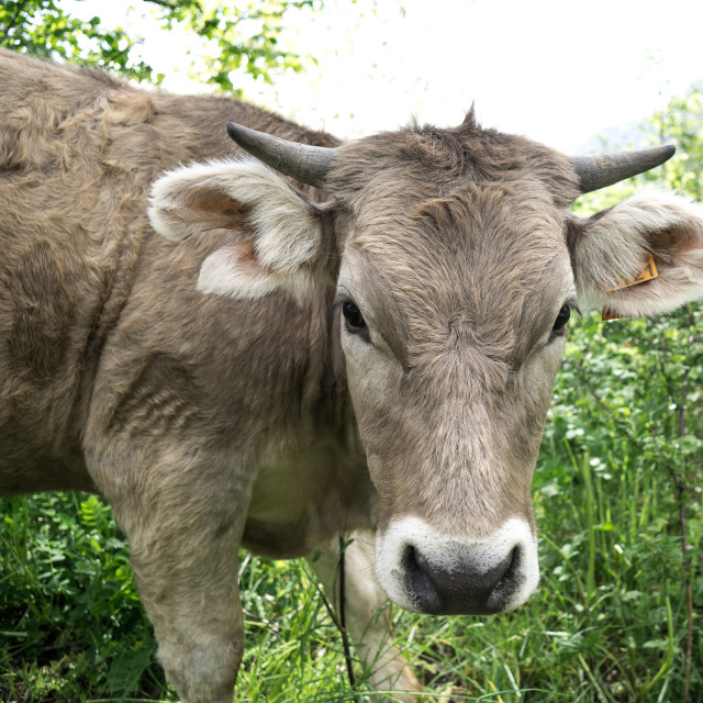 """Cow"" stock image"