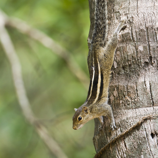 """Indian palm squirrel in Sri Lanka"" stock image"