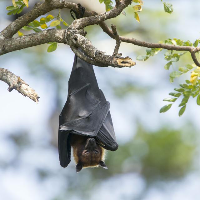 """Indian Flying-fox in Tissamaharma, Sri Lanka"" stock image"