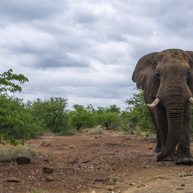 """African bush elephant in Kruger national park, South Africa"" stock image"