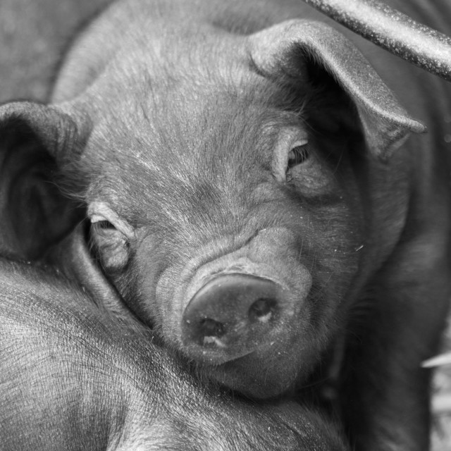 """""""Wrinkly nose Piglet"""" stock image"""
