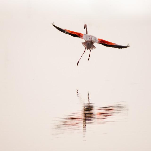 """flamingo art"" stock image"