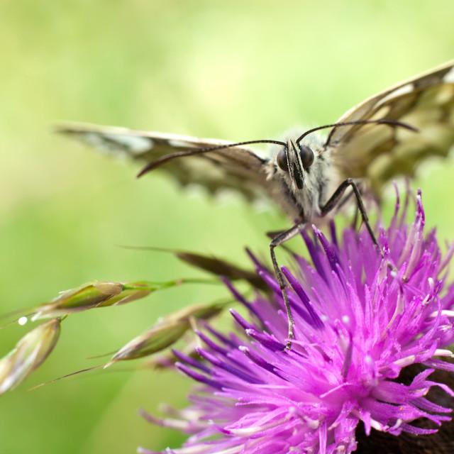 """butterfly on centaurea"" stock image"