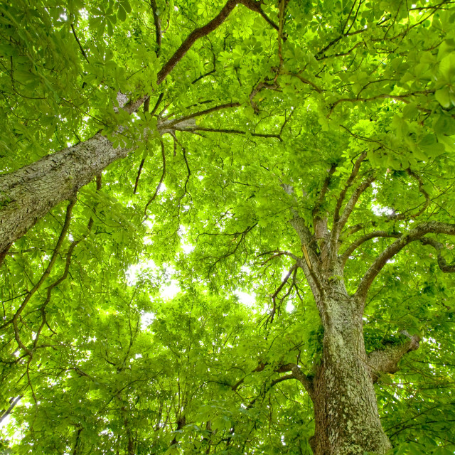 """""""chestnut trees dynamic view"""" stock image"""