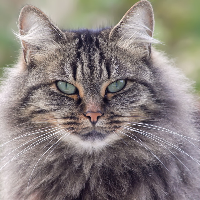 """wild looking cat"" stock image"