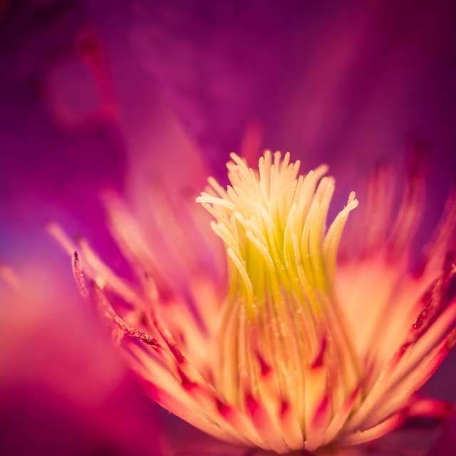 """Clematis Flower"" stock image"
