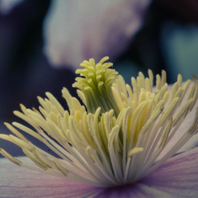 """Clematis Flower stamen"" stock image"