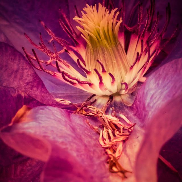 """Clematis Flower macro"" stock image"