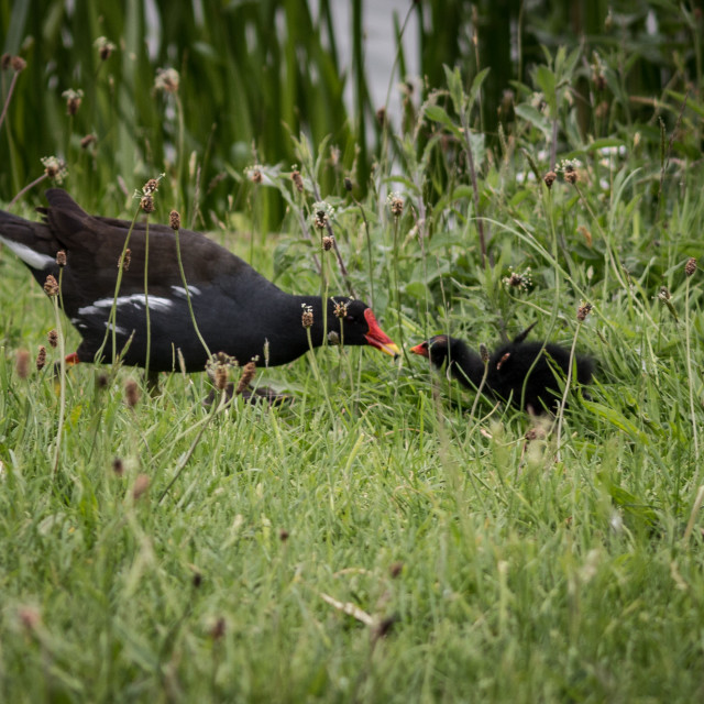 """Moorhen and chick"" stock image"