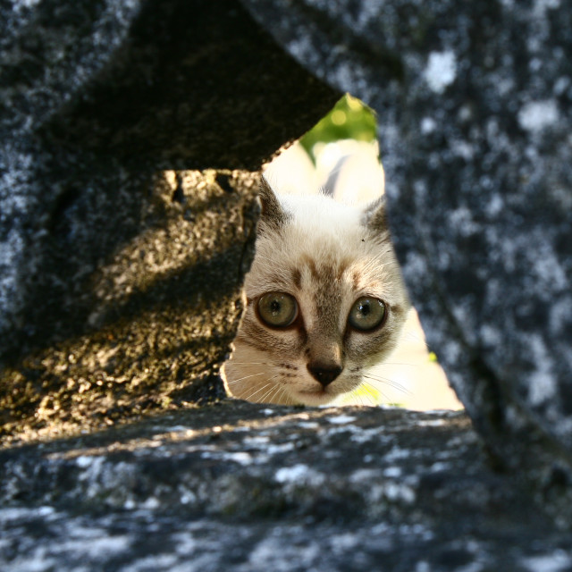 """""""A little cat peeking out of a hole in a stone fence"""" stock image"""