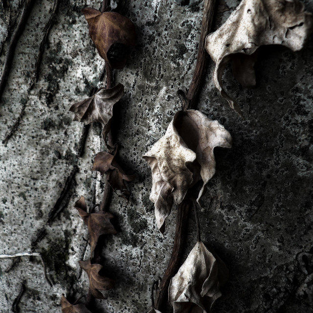 """""""Dry leaves of ivy"""" stock image"""