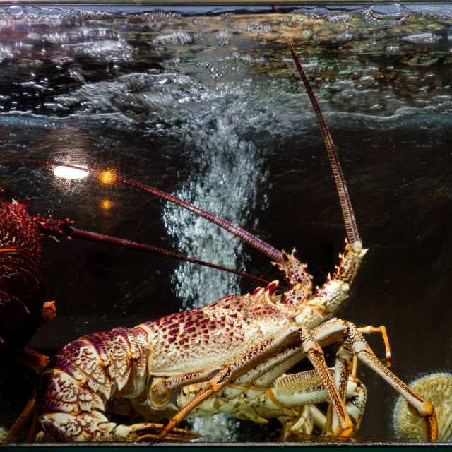 """""""Lobsters in the aquarium in a Chinese restauran"""" stock image"""