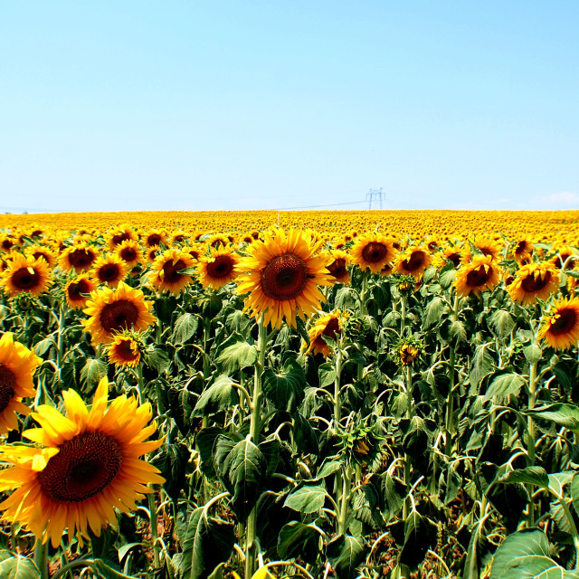 """Sun on Sunflowers"" stock image"