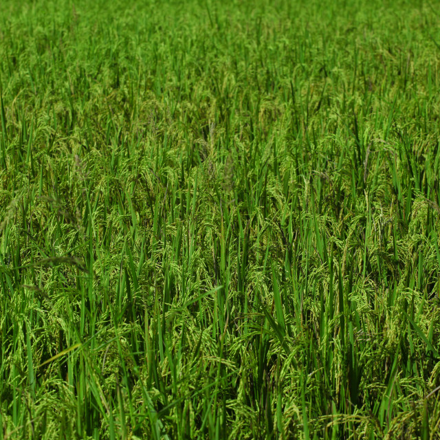 """Field Rice"" stock image"