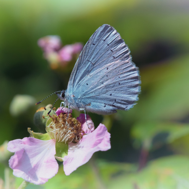 """Blue butterfly"" stock image"