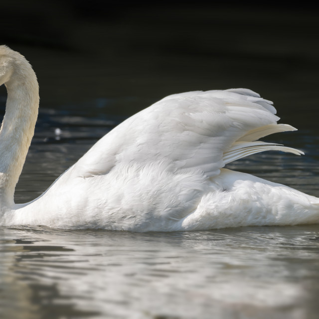 """Mute Swan on a Lake"" stock image"