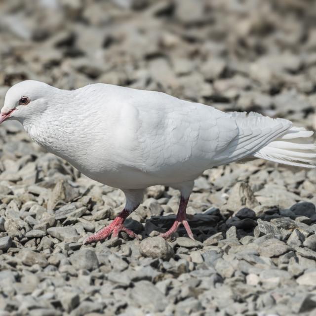 """""""White Release Dove"""" stock image"""