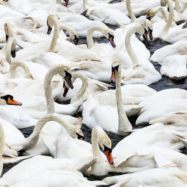 """Swan, Swan, Swans"" stock image"