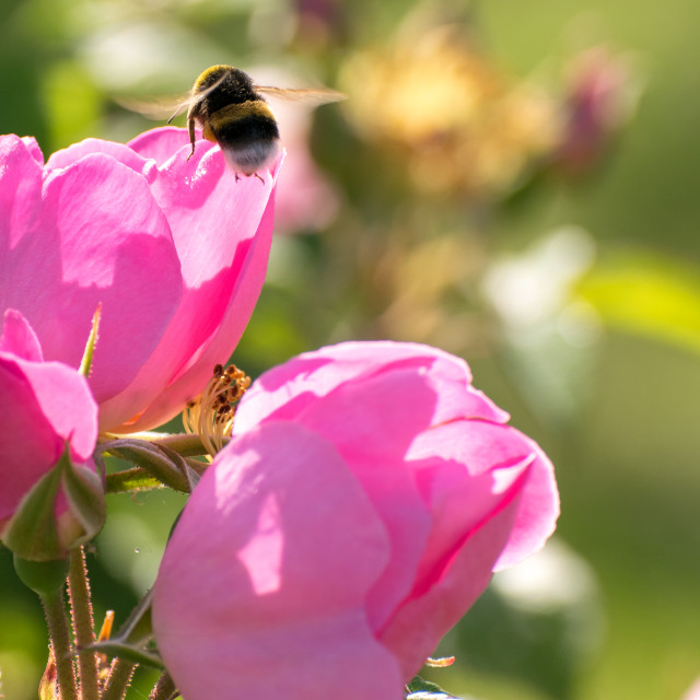 """Bee and flower"" stock image"