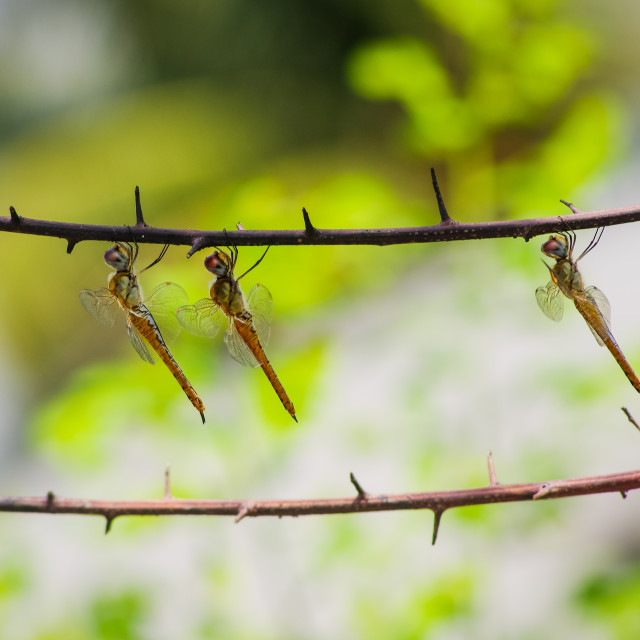 """Three golden dragonflies in row"" stock image"