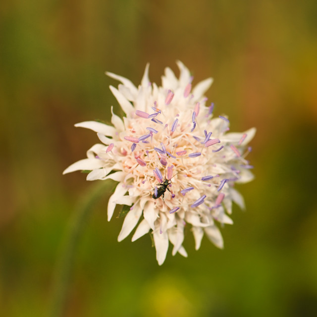 """""""White bloom with nice purple pistils and small bug"""" stock image"""