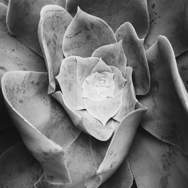 """""""Succulent Plant, Scilly Isles, Cornwall"""" stock image"""