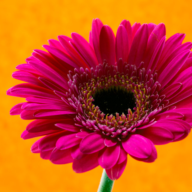 """Gerbera Pink with yellow background"" stock image"