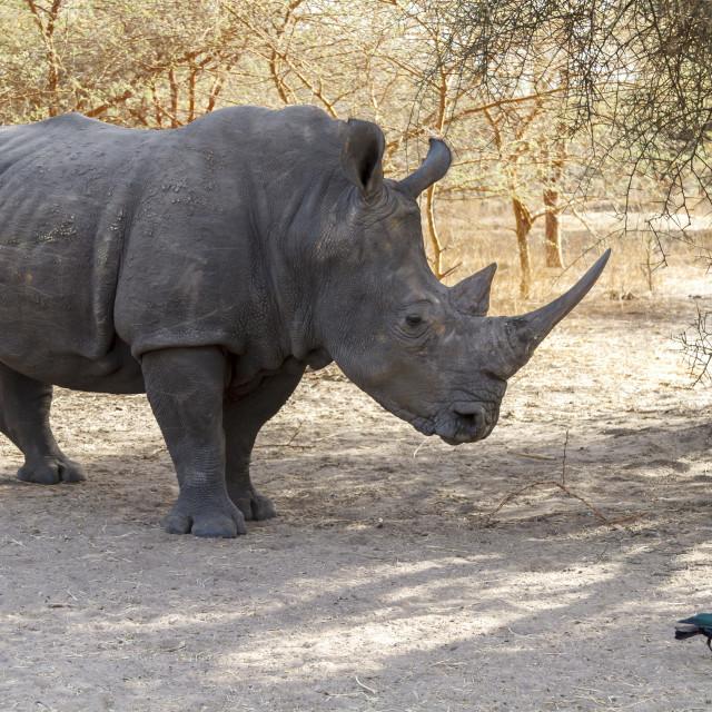 """Wild rhino in Africa"" stock image"