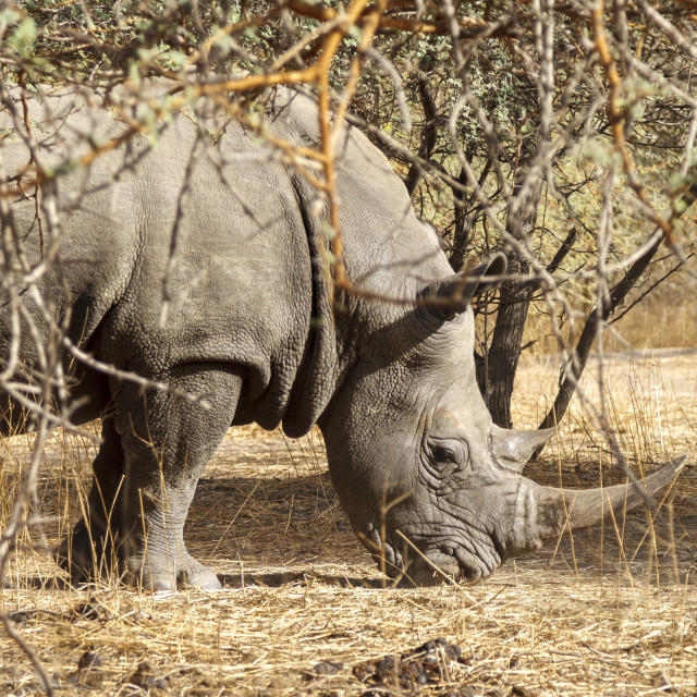 """Wild rhino in the bush"" stock image"
