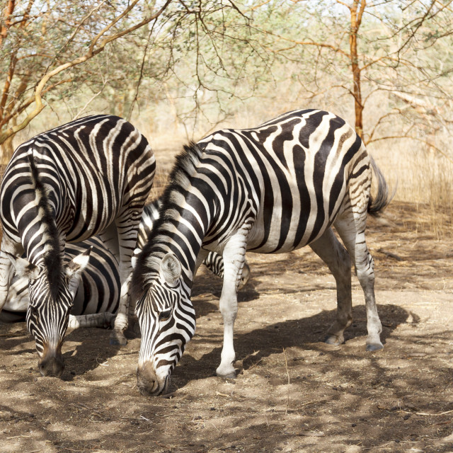 """Black & white zebras"" stock image"