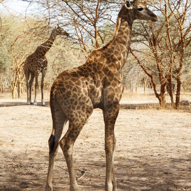 """""""Cute baby giraffe"""" stock image"""