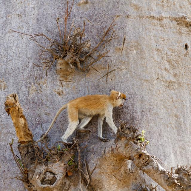 """Patas monkey climbing"" stock image"