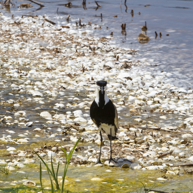 """Spur winged plover"" stock image"
