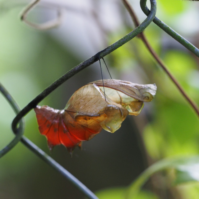"""""""Butterfly pupae"""" stock image"""