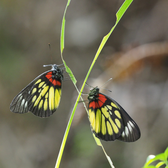 """Pair of butterflies"" stock image"