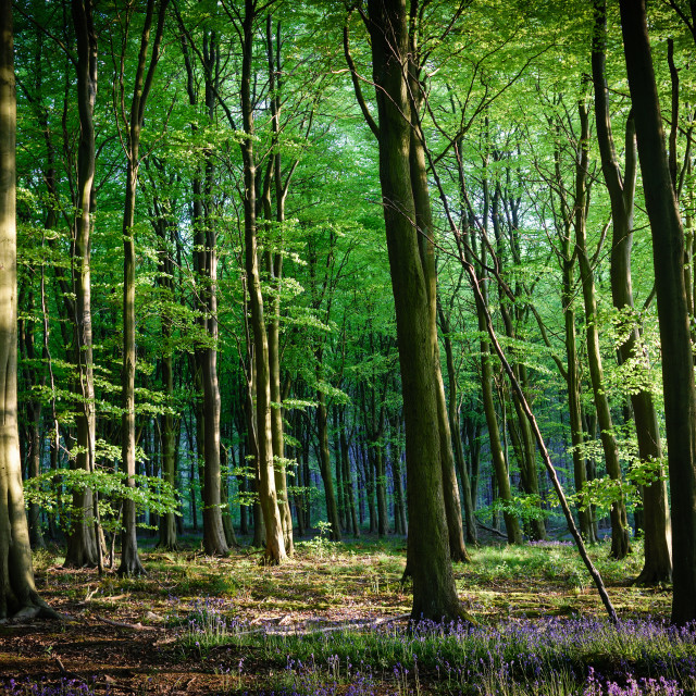 """Beech Woodland In Spring"" stock image"
