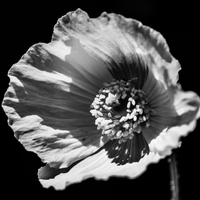 """Black and White Poppy"" stock image"