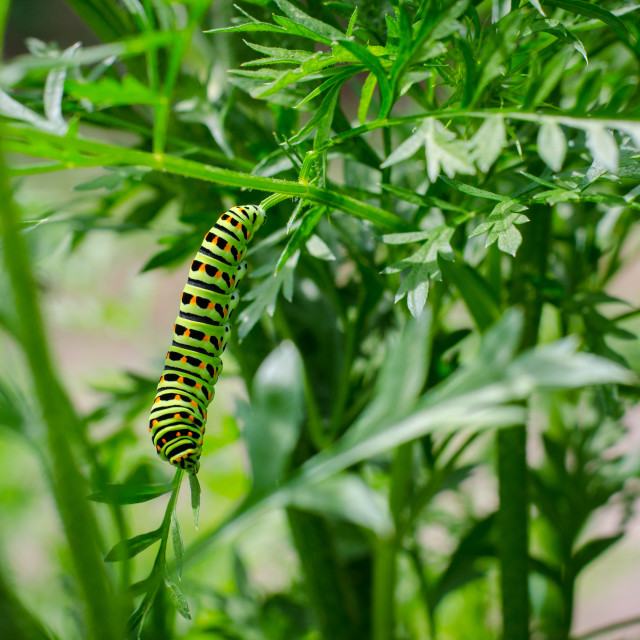 """Rare And Beautiful Swallowtail Caterpillar"" stock image"
