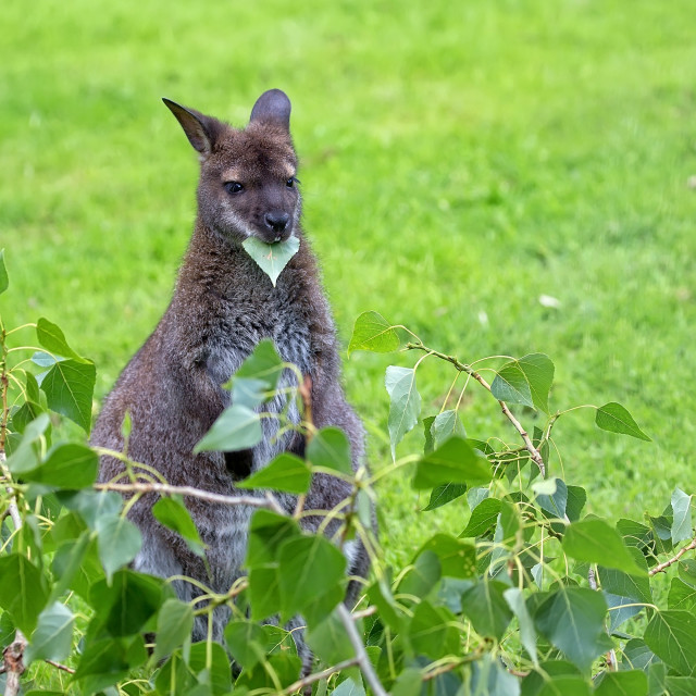 """""""Kangaroo red-necked wallaby in a clearing"""" stock image"""