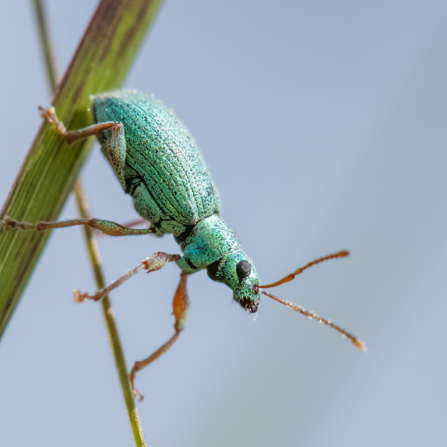"""Green Weevil (Polydrusus formosus)"" stock image"