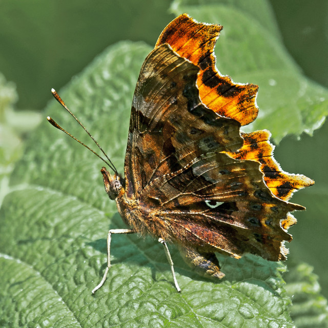 """Comma Butterfly (Polygonia C-album)"" stock image"