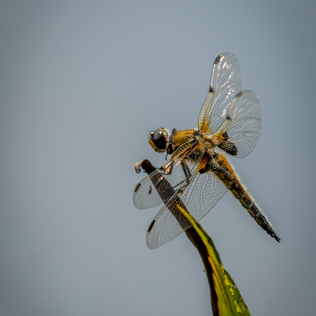 """""""Dragon-Fly resting"""" stock image"""