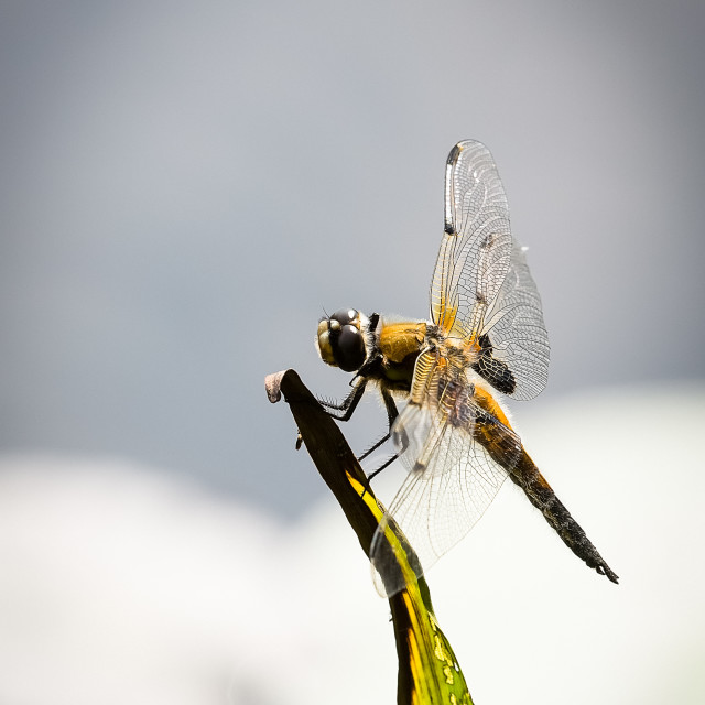 """Dragon-Fly resting"" stock image"