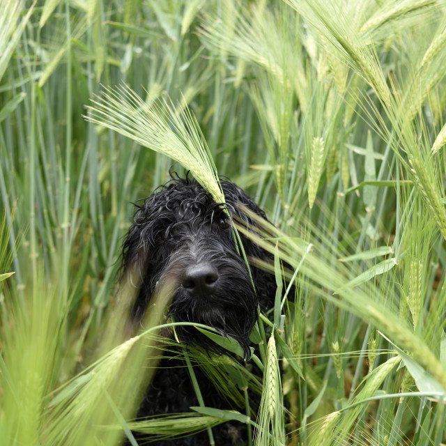 """Cockapoo In A Barley Field"" stock image"