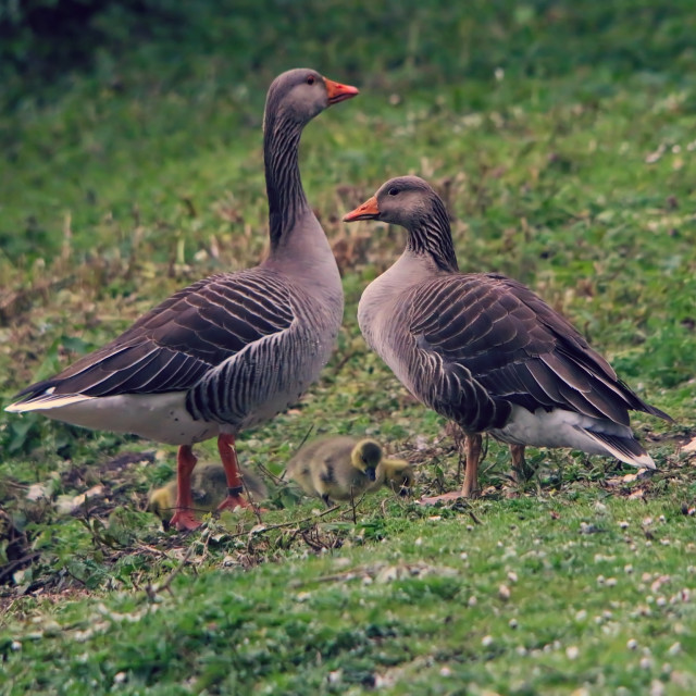 """Greylag goose with goslings"" stock image"