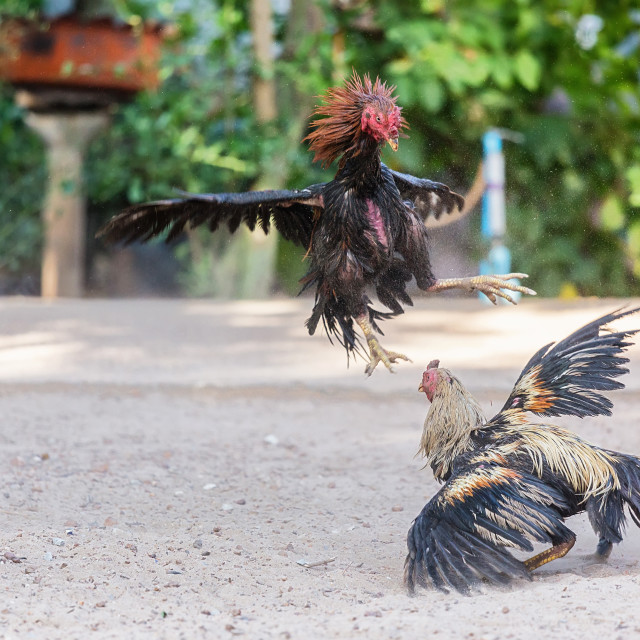 """""""Fighting cocks in a vicious attack"""" stock image"""