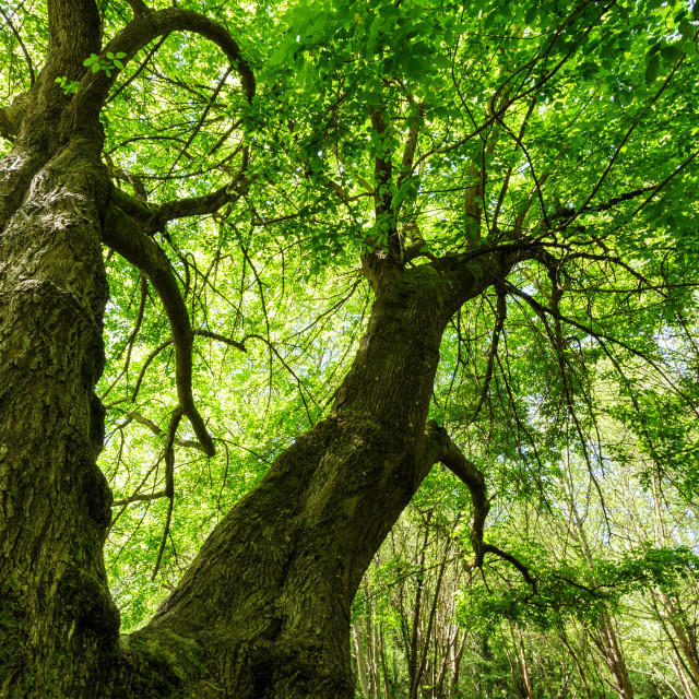 """Huge maple tree"" stock image"